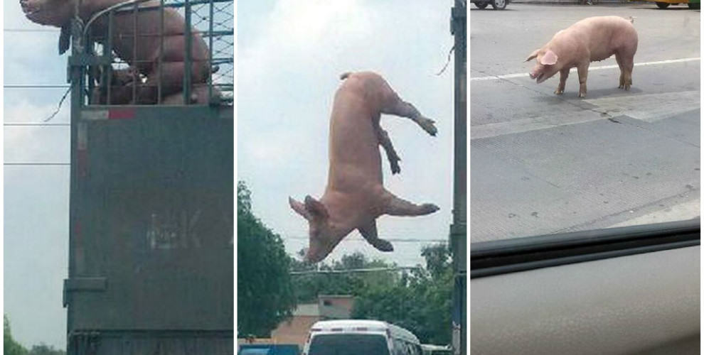 pig escape 990x500 Pig Jumps Out Of Moving Truck On Way To Be Slaughtered