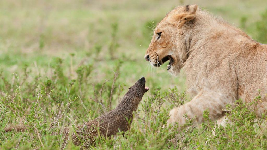 tiny mongoose takes on four lion Tiny Mongoose Takes On Four Lions, Wins Comfortably