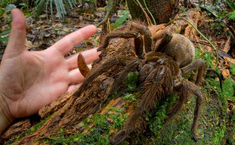 spiderd Amazonian Spider The Size Of A Puppy Discovered By Scientist