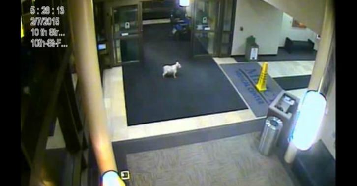 31 This Dog Ran 20 Blocks By Herself To Visit Owner In Hospital