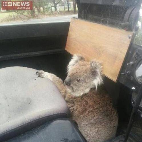ad 161008437 Lad Comes Home From School To Find Koala Trying To Drive Family Car