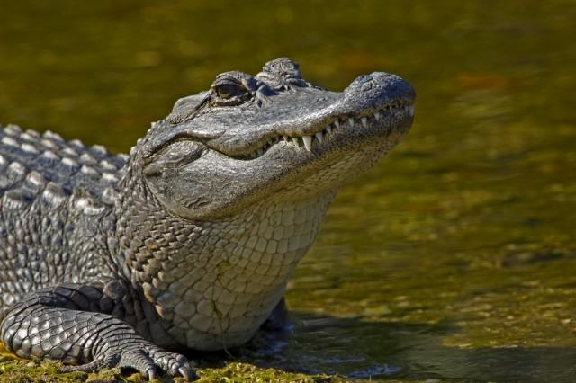 What Do You Do When Faced With A 13 Foot Alligator? Carry On Playing Golf Obviously alligator 640x426