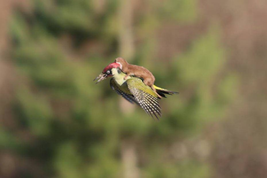 martinlemay The Internet Reacted Hilariously To The Weasel Riding A Woodpecker
