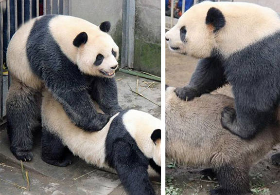Panda Caught In 7 Minute Sex Marathon pandaWEBTHUMBNEW