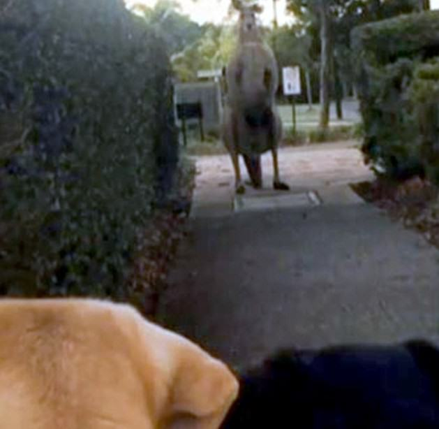 240 This HENCH Kangaroo Is Scaring Residents In An Australian Suburb
