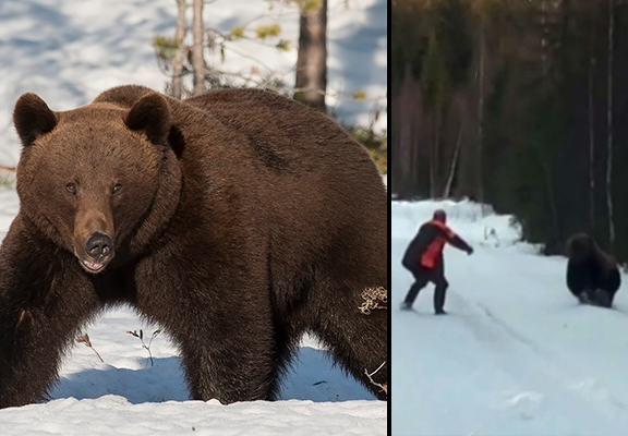 bear WEB Bear Confronts Swedish Man Who Quickly Scares It Away Like A Boss