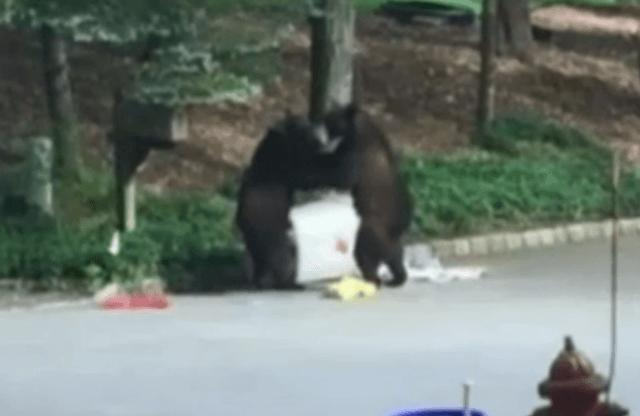 blows Two Huge Bears Come To Blows In Middle Of Busy Neighbourhood