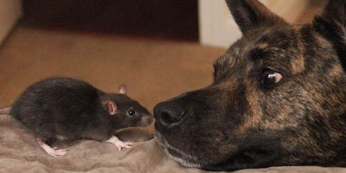 rat This Rat And Dog Have The Best Friendship Ever