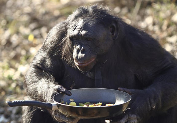 chimp 4 Chimps Can Cook, Prefer Hot Food And Are Probably Going To Take Over