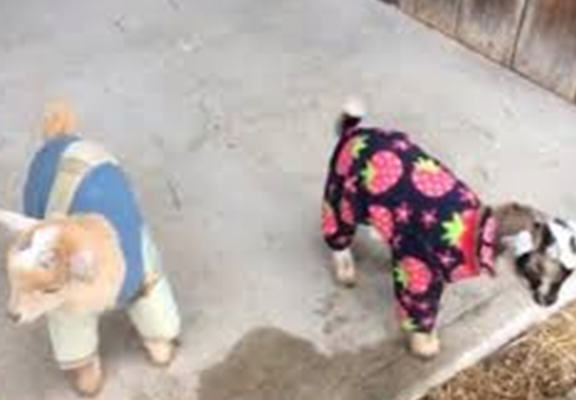 goats web These Baby Goats In PJs Will Brighten Your Day Right Up