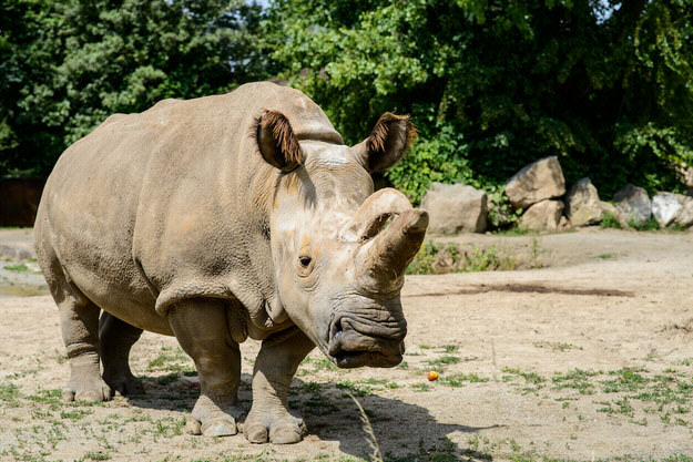 55b9f5184cc0a Rare Northern White Rhino Dies, Leaving Only 4 In The World