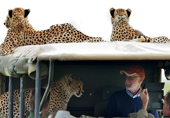 Crazy Moment Cheetah Jumps Into Mans Safari Jeep cheetah 7