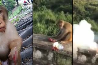 Awful Moment A*sehole Throws Firecracker To Hungry Monkey
