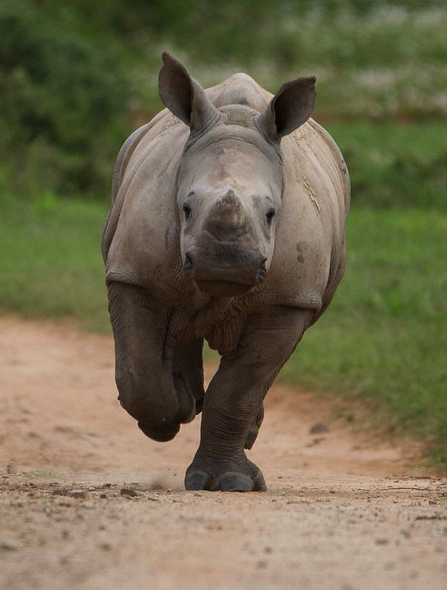 Zh0jJ87AeJacques Matthysen 4.jpg Baby Rhino Pictured Smiling Following Attack By Poachers That He Survived