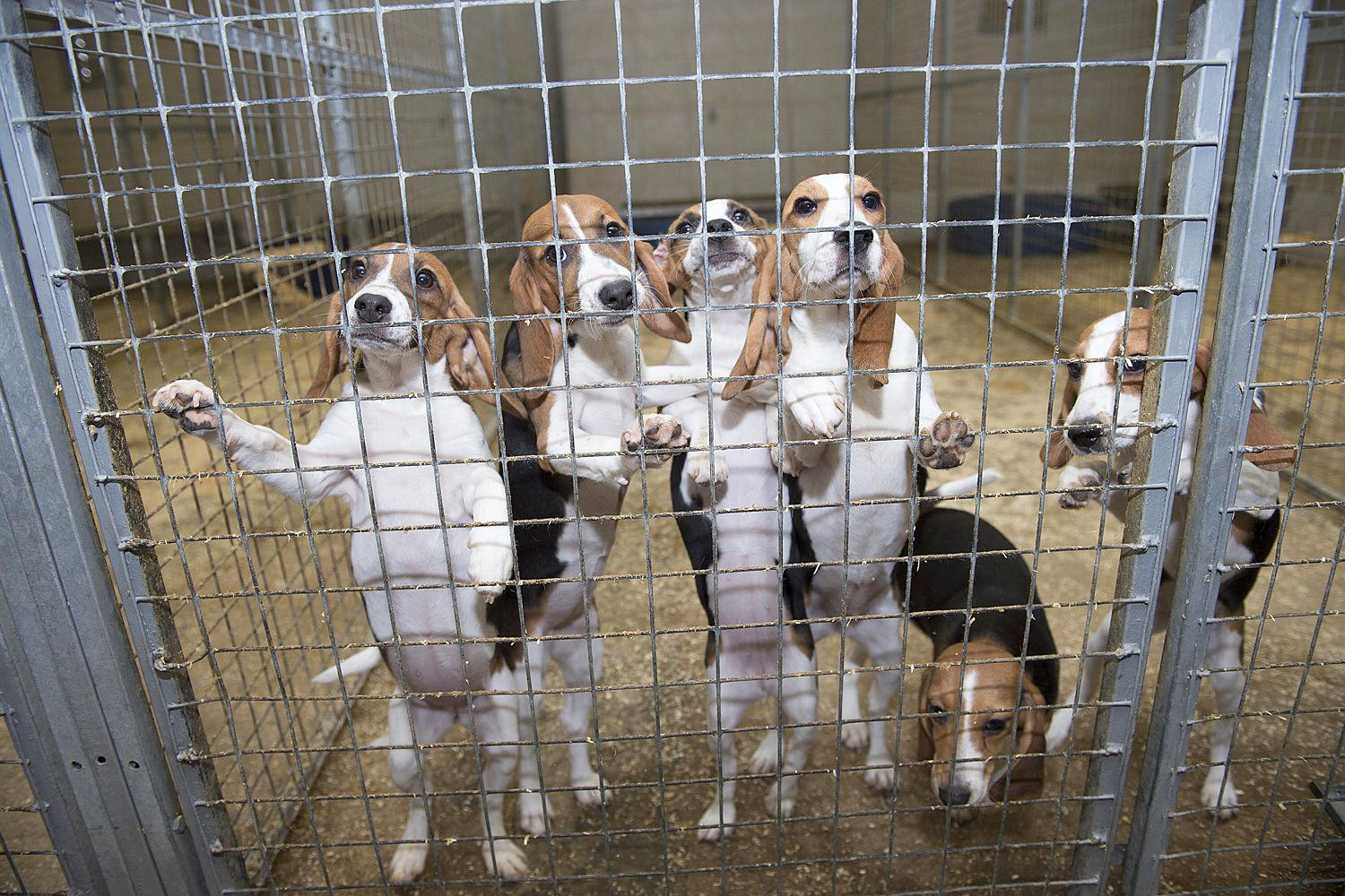 UNILAD 03 37e78fe4 5b2a 1 2486858a5 There's A Secretive Farm In Cambridge Where Beagles Are Bred To Die