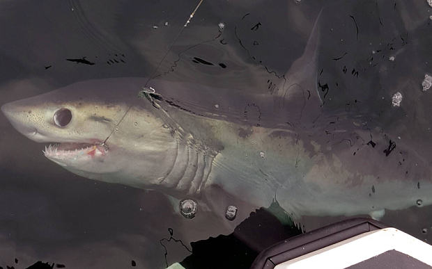 UNILAD The Telegraph4 Eight Foot Shark Caught By Fisherman Off Coast Of Sunderland