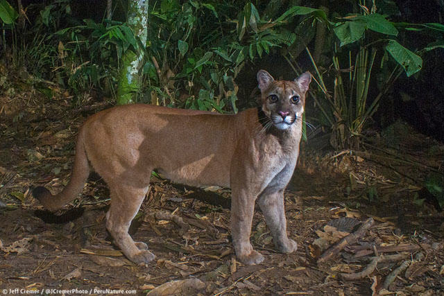 UNILAD rainforest animals 14 Guy Sets Up Camera Trap In Amazon Jungle And Snaps Rare Animals