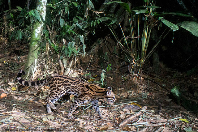 UNILAD rainforest animals 76 Guy Sets Up Camera Trap In Amazon Jungle And Snaps Rare Animals
