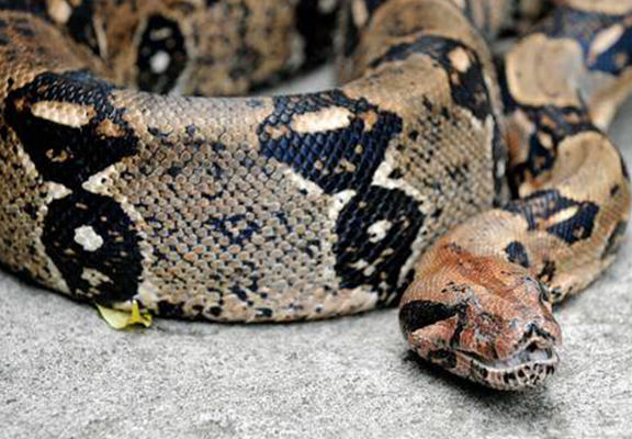 Police Issue Warning After Eight Foot Boa Constrictor Escapes From Cage UNILAD snakelose web7