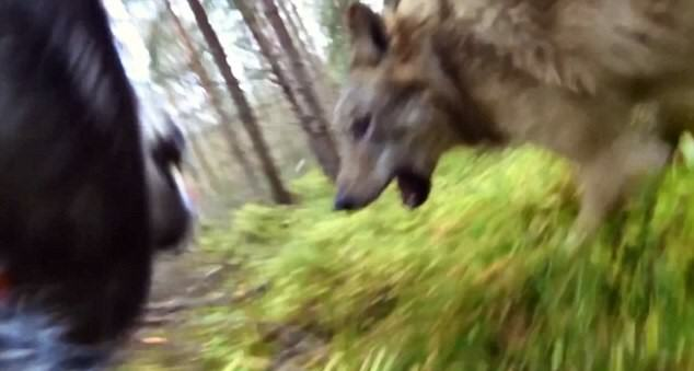 UNILAD 2DB164C800000578 3285912 image a 3 144559012692532148 GoPro Footage Shows Dog Fending Off Brutal Wolf Attack In The Forest