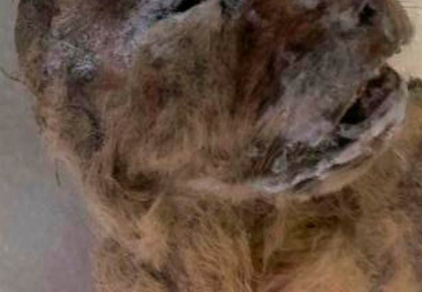 UNILAD PAY extinct cave lion found preserved in near perfect condition69575 615x426 Scientists Discover Perfectly Preserved Extinct Cave Lion
