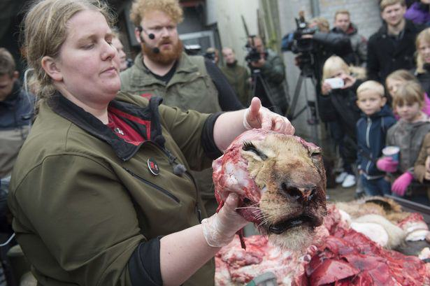 UNILAD The dissection of a lion at the zoo in Odense Denmark4 Lion Brutally Cut Open In Front Of Kids During Public Dissection At Zoo