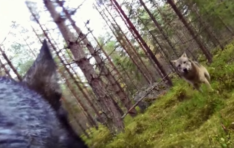 UNILAD screen shot 2015 10 23 at 09 14 2897562 GoPro Footage Shows Dog Fending Off Brutal Wolf Attack In The Forest