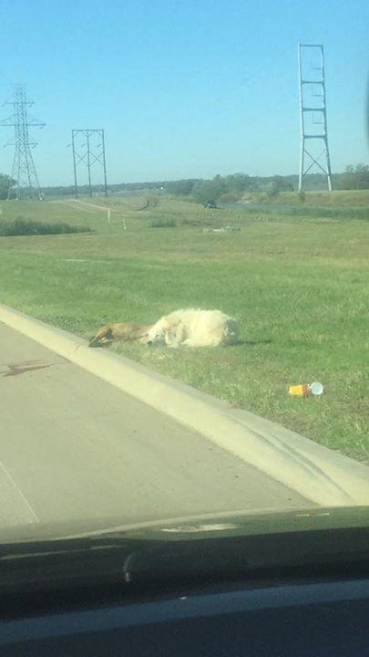 UNILAD 232490 Heartbreaking Photo Shows Loyal Dog Refusing To Leave His Dead Friends Side