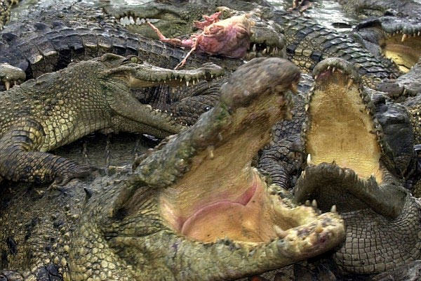 UNILAD Crocodiles69368 Ferocious Crocodiles Could Soon Be Replacing Guards At This Prison