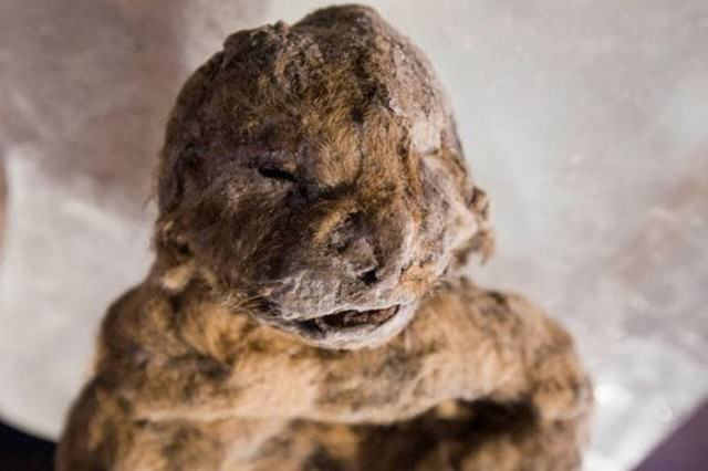 12,000 Year-Old Cave Lion Cubs Found In Siberia Almost Perfectly Preserved By Ice