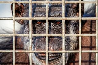 The U.S Government Is Retiring All Research Chimpanzees