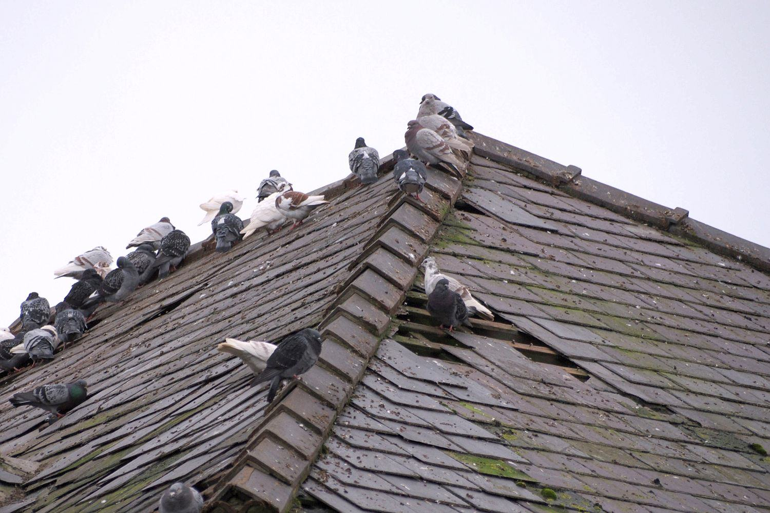 01 13231107 f2c56f 2602597a Cannabis Farm Discovered After Pigeons Take A Liking To Warm Roof