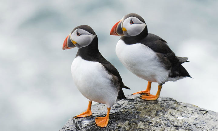 Puffins Very Odd, Very NSFW Joke Brings Internet Together On Christmas Day