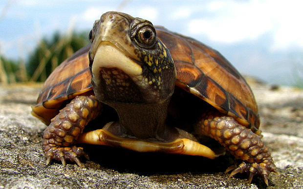 eastern box turtle 3053469b Heres Why A Guy Smuggled 51 Turtles In His Trousers