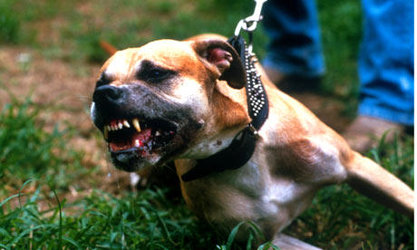 pit bull dogs 001 The Extent Of Horrific Illegal Dog Fighting In The UK Revealed