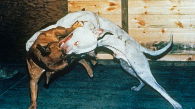 stream img The Extent Of Horrific Illegal Dog Fighting In The UK Revealed