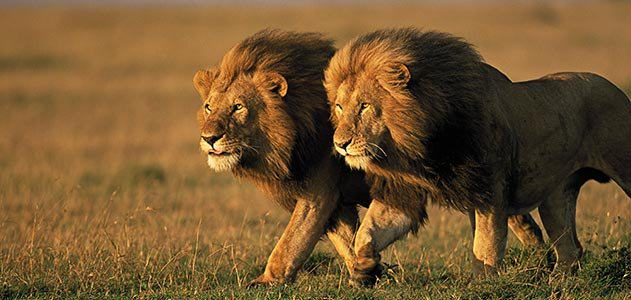 two male lions Kenya 631.jpg  800x600 q85 crop Two Sub Species Of Lion Have Been Added To The Endangered Species List