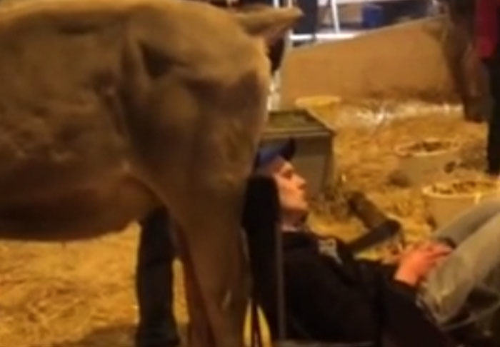 cow3 Guy Falls Asleep At Dairy Farm, Colleagues Pull Off Disgusting Prank