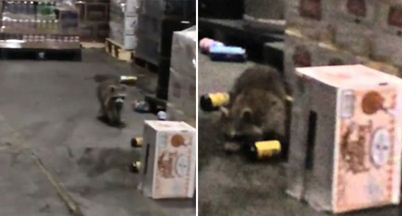 drunk raccoon FB This Drunk Raccoon Probably Had A Wilder New Years Party Than You