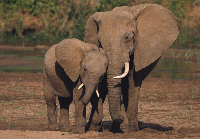 ivory1 Hong Kong Have Just Delivered Some Bad News For Ivory Poachers