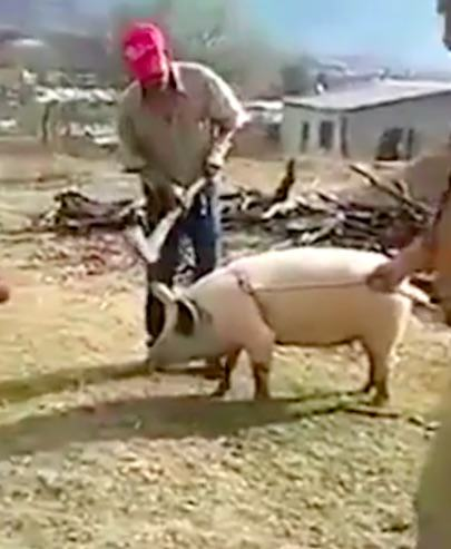 pig3 Farmer Feels Swift Justice Of Karma As He Tries To Kill A Pig With An Axe