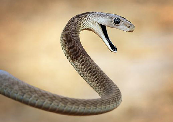 snake featured 2 Deadly Black Mamba Snake On The Loose In The UK