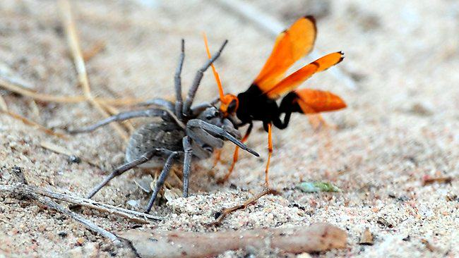 What The Spider Wasp Does To Its Prey Is Truly F*cking Terrifying wasp2
