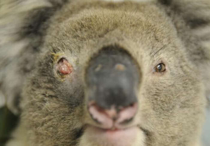 This Scientist Wants To Go On A Koala Killing Spree koala2