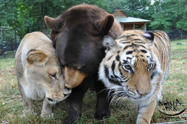 12249743 10156278481995088 3379594319668669741 n 640x426 Story Of How This Lion, Tiger And Bear Became Brothers Will Melt Your Heart