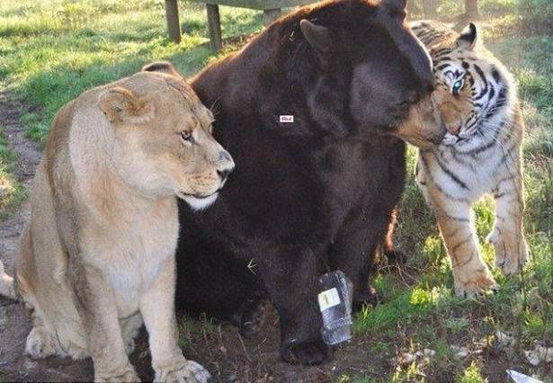 Lion tiger and bear living in a Georgia animal shelter 615x426 Story Of How This Lion, Tiger And Bear Became Brothers Will Melt Your Heart