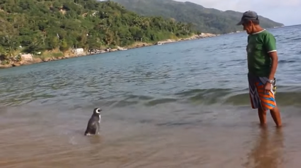 ad199222519brazilian man an Loyal Penguin Swims Thousands Of Miles Every Year To Visit His Rescuer