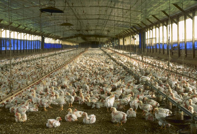 Government Reveals Devastating Plan To Scrap Animal Welfare Codes chicken