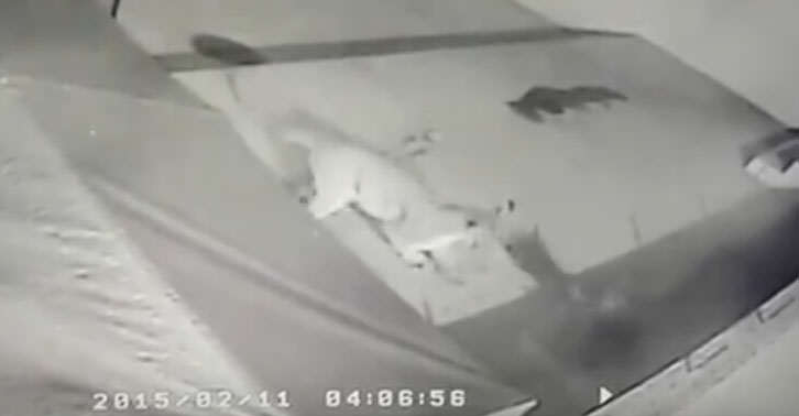 lion2 Dog Survives Incredible Attack By Mountain Lion