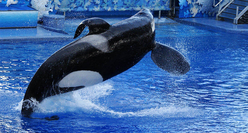 The Infamous SeaWorld Killer Whale Is Close To Death